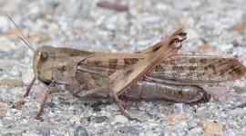 Locusta Migratoria Photo Free