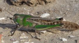 Locusta Migratoria Photo Free#1