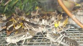 Locusta Migratoria Photo Free#2