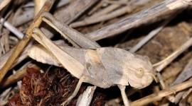 Locusta Migratoria Photo#1