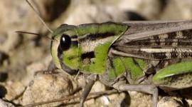 Locusta Migratoria Wallpaper