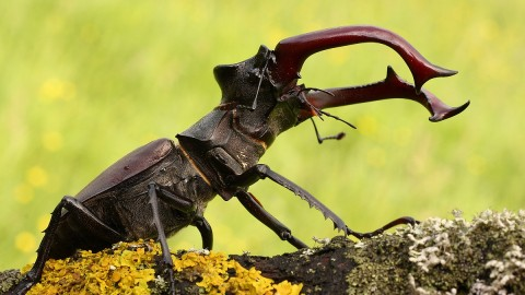 Lucanus Cervus wallpapers high quality