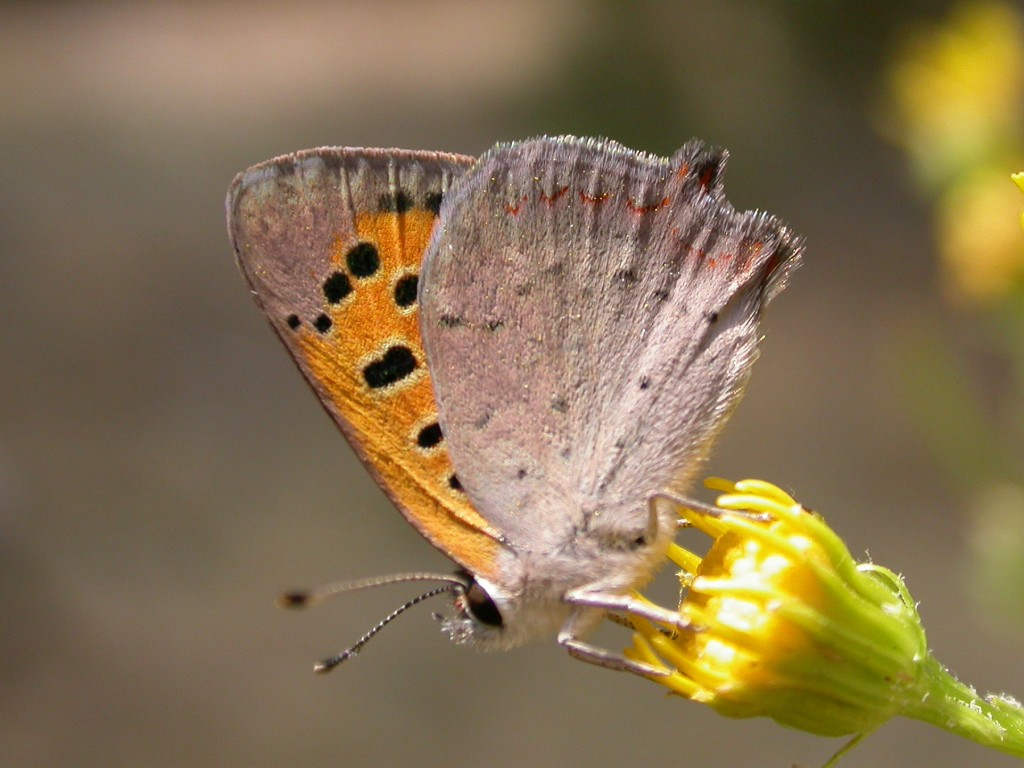 Lycaena wallpapers HD