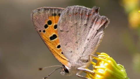 Lycaena wallpapers high quality