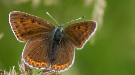Lycaena Photo Download