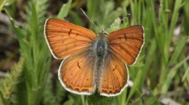 Lycaena Photo Free