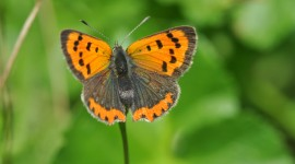 Lycaena Photo Free#1