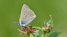 Lycaena Photo#1