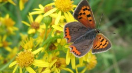 Lycaena Photo#2