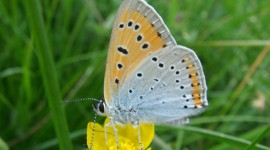 Lycaena Wallpaper Download Free