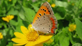 Lycaena Wallpaper For PC