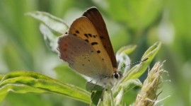 Lycaena Wallpaper Free