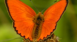 Lycaena Wallpaper Full HD