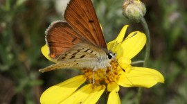 Lycaena Wallpaper Gallery