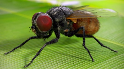 Musca Domestica wallpapers high quality