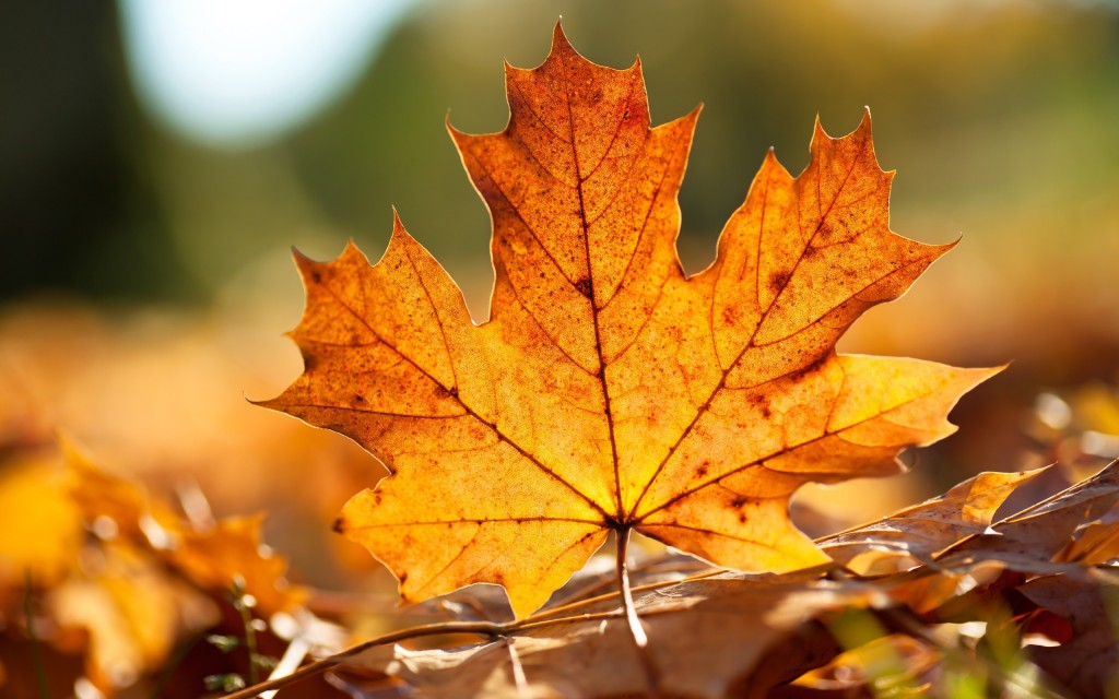 Orange Leaves wallpapers HD
