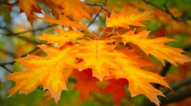 Orange Leaves Photo