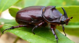 Oryctes Nasicornis Wallpaper Gallery