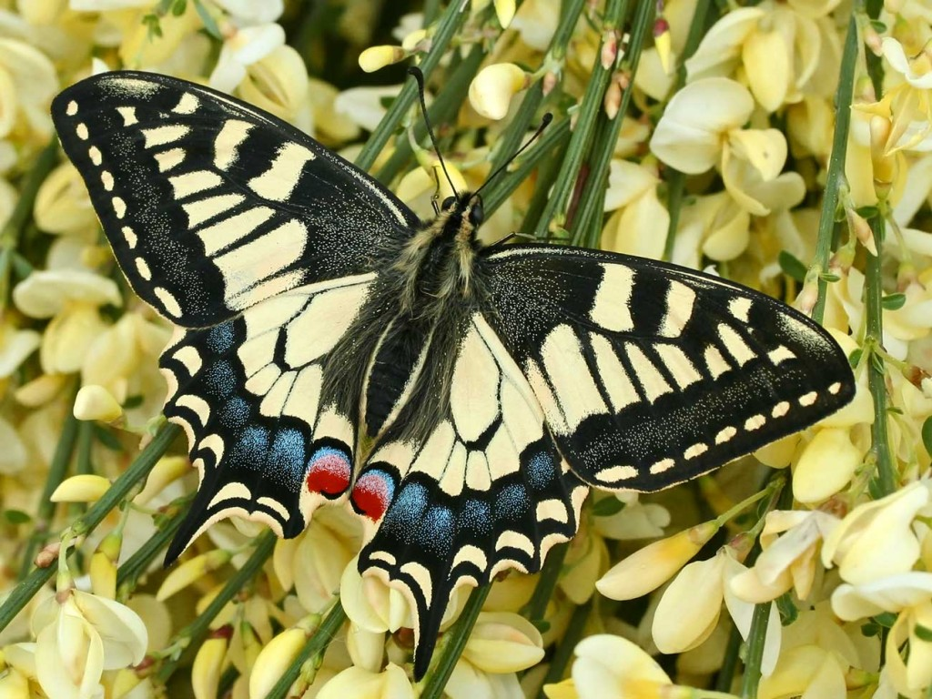 Papilio Machaon wallpapers HD