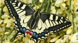 Papilio Machaon Best Wallpaper