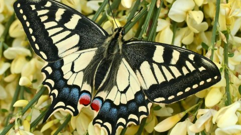 Papilio Machaon wallpapers high quality