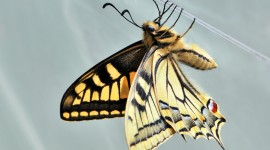 Papilio Machaon Desktop Wallpaper