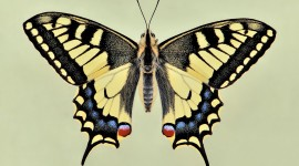 Papilio Machaon Imag