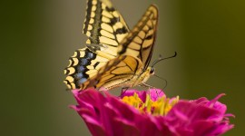 Papilio Machaon Photo