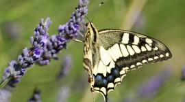 Papilio Machaon Photo Download