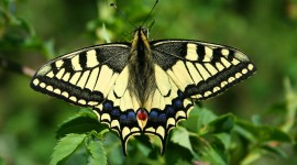 Papilio Machaon Photo Free