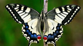 Papilio Machaon Photo Free#2