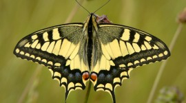 Papilio Machaon Photo Free#3