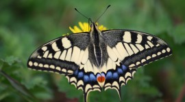Papilio Machaon Photo#1