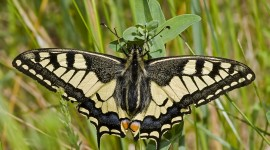 Papilio Machaon Photo#2