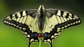 Papilio Machaon Photo#3