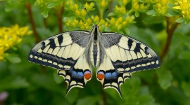 Papilio Machaon Wallpaper 1080p