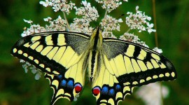 Papilio Machaon Wallpaper