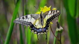 Papilio Machaon Wallpaper For PC