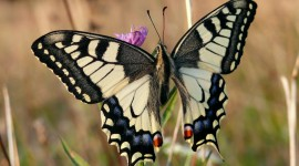 Papilio Machaon Wallpaper Free