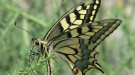 Papilio Machaon Wallpaper Full HD