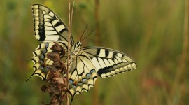 Papilio Machaon Wallpaper Gallery