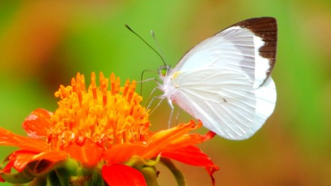 Pieris Brassicae wallpapers high quality
