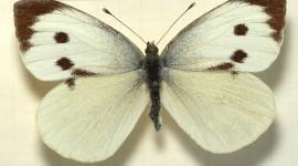 Pieris Brassicae Photo