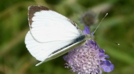 Pieris Brassicae Photo Download