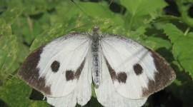 Pieris Brassicae Photo Download#1