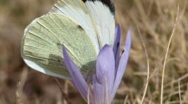 Pieris Brassicae Photo Free