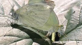 Pieris Brassicae Photo Free#1