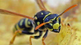 Polistes Gallicus Best Wallpaper