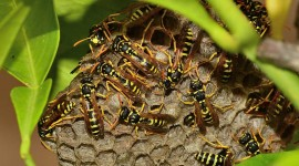 Polistes Gallicus Desktop Wallpaper