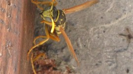 Polistes Gallicus Photo
